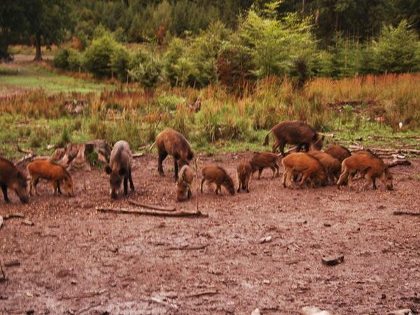 Wildschweine und Frischlinge