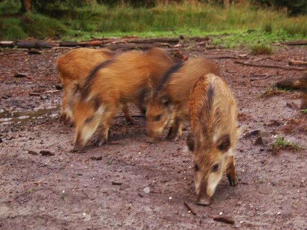 Wildschweine aus der Region